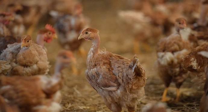 Açık artırmada 'yanlışlıkla' bin adet tavuk satın aldı
