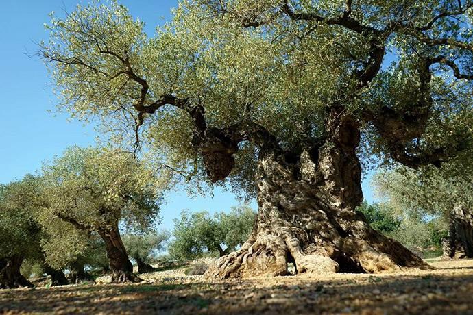 3 bin yıllık ağacın gizemini Türk nükleer fizikçiler çözdü