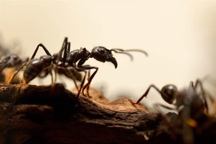 Dünyanın en hızlı karıncası belli oldu