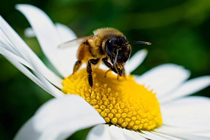 Türk arısı İngiltere'yi ayağa kaldırdı