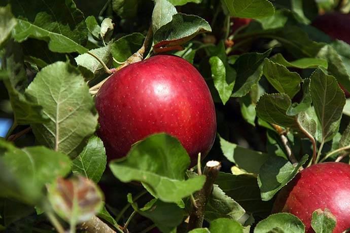 10 milyon dolar maliyetle 20 yılda üretilen elma
