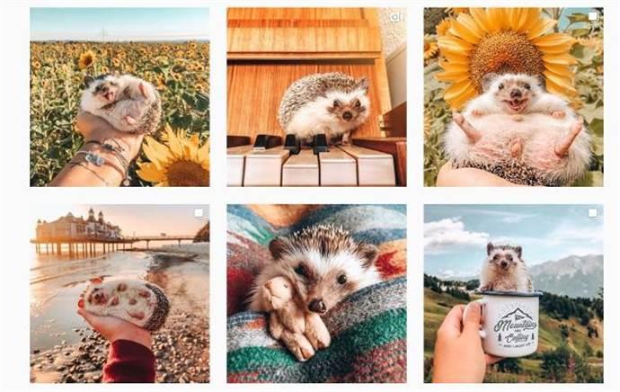 Instagram'ın yeni yıldızı kirpi Herbee