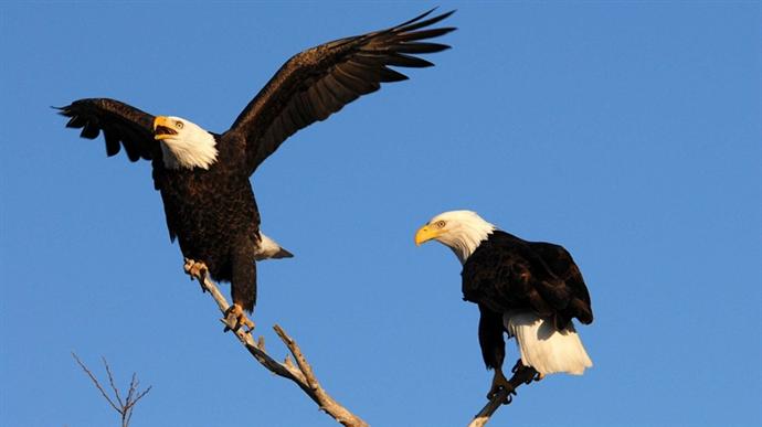 Kartalların göçünü izlemek kuş gözlemcilerine pahalıya patladı!