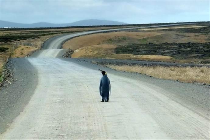 Kayıp penguenin zorlu yolculuğu