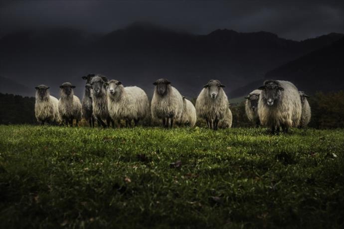Koyun sürüsüne askeri düzende yürümeyi öğretti