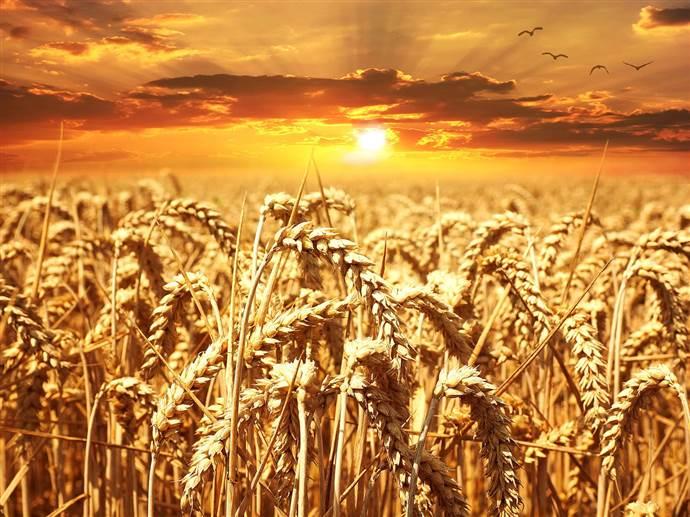 Tarihe alternatif bir bakış: Tahıla Karşı