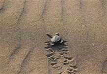 Yavru Caretta caretta'lar denize böyle koştu